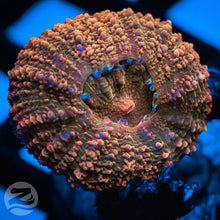Load image into Gallery viewer, Orange Lobophyllia