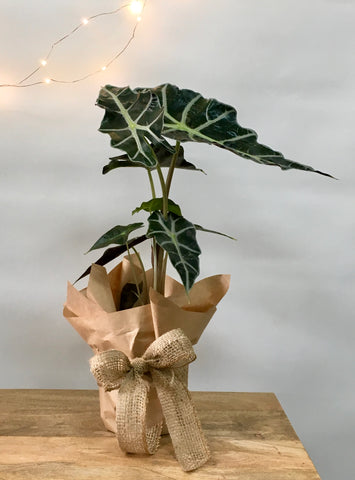 Wrapped Elephants Ear - Alocasia Amazonic