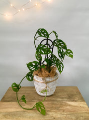 Swiss Cheese Plant - Monstera Adansonii