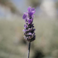Lavindin, Empress Purple, Lavandula intermedia