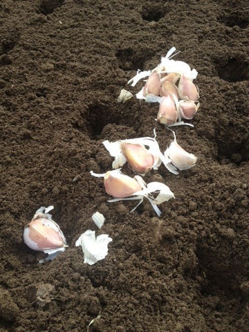 garlic production, garlic planting, garlic, garlic cloves, garlic production process