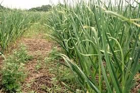 garlic growth, growing garlic, garlic production, garlic production process, Maine garlic farm, garlic