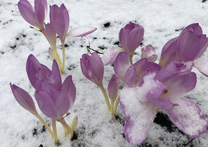 giant colchicum in snow