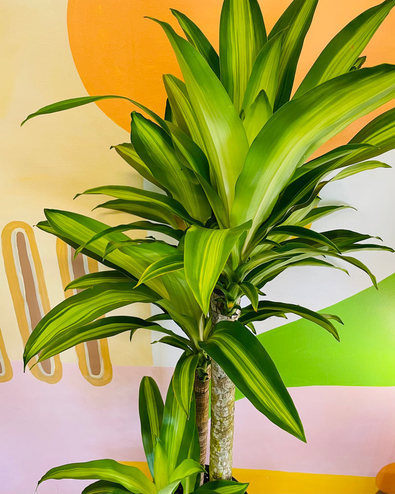 Happy Plant (Dracaena Fragrans Massangeana)