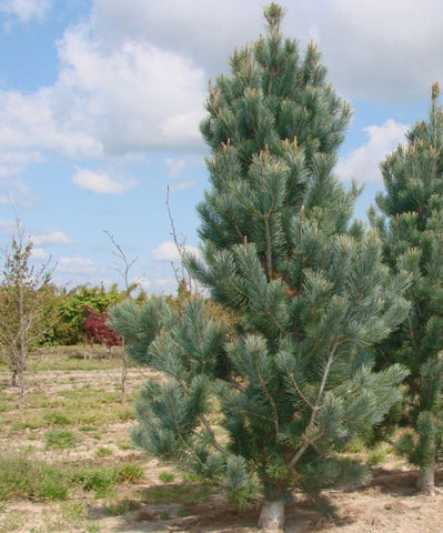 Border Pine Tree Seeds, Pinus flexilus reflexa - 25 Seeds