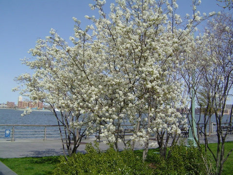 Shadblow Serviceberry Seeds, Amelanchier canadensis - 25 Seeds