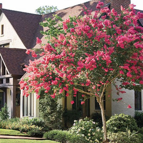 100 Common Crape Myrtle Tree Seeds, Lagerstromia Indica