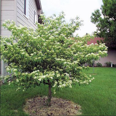 100 Pagoda Dogwood Tree Seeds, Cornus Alternifolia