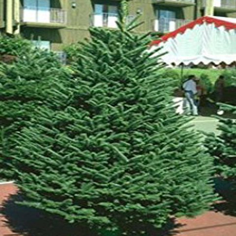 100 Noble Fir Tree Seeds, Abies Procera