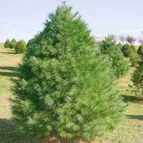 100 Eastern White Pine Tree Seeds, Pinus Strobus, Lake States