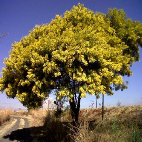 100 Black Wattle Tree Seeds, Acacia Decurrens Mollis