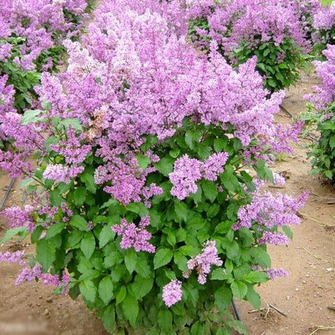 100 Late Lilac Tree Seeds, Syringa Villosa