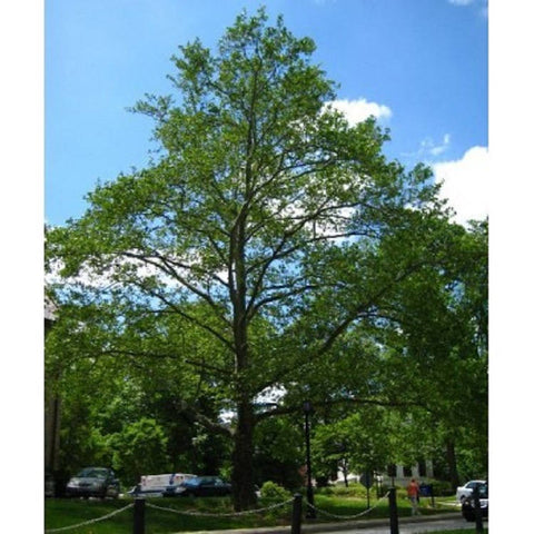 10 American Sycamore Tree Seeds, Platanus occidentalis