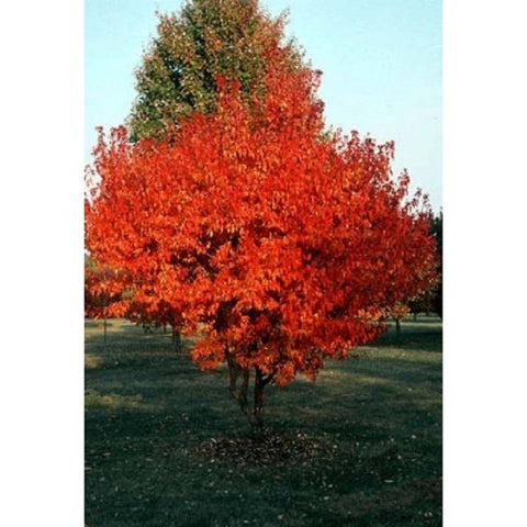 10 Amur Maple Tree Seeds, Acer ginnala, de-winged