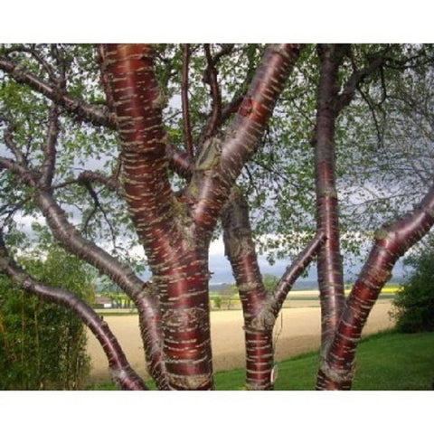 10 Paperbark Cherry Tree Seeds, Prunus serrula