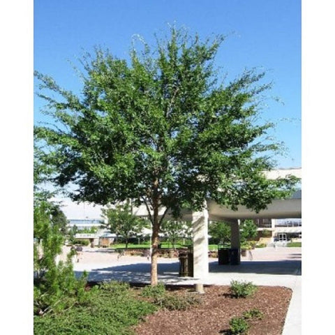 10 Chinese Elm Tree Seeds, Ulmus parvifolia