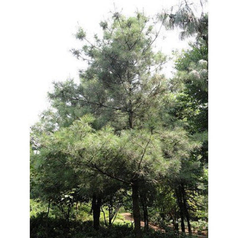 10 Chinese White Pine Tree Seeds, Pinus armandi