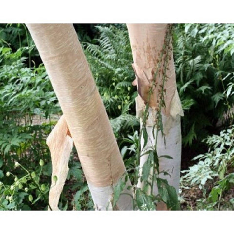 10 Creamy Bark Birch Tree Seeds, Betula costata