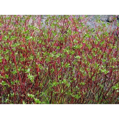 10 Redosier Dogwood Tree Seeds, Cornus stolonifera
