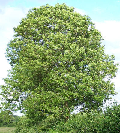 500 Common Ash Tree Seeds, Fraxinus excelsior
