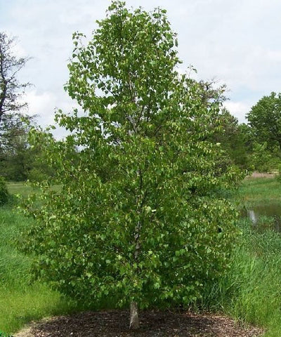500 Asian White Birch Tree Seeds, Betula platyphylla