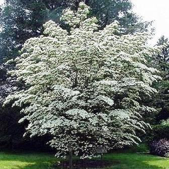 500 Chinese Dogwood Tree Seeds, Cornus kousa chinensis