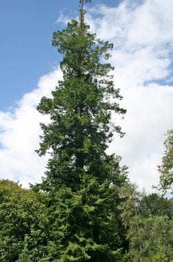 500 Pindrow Fir Tree Seeds, Abies pindrow