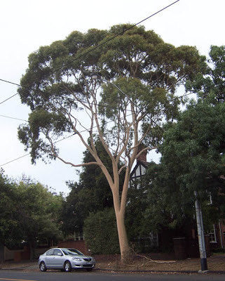 500 Lemon Scented Gum Tree Seeds, Eucalyptus citrodora
