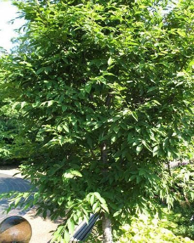 50 Heartleaf Hornbeam Tree Seeds, Carpinus cordata