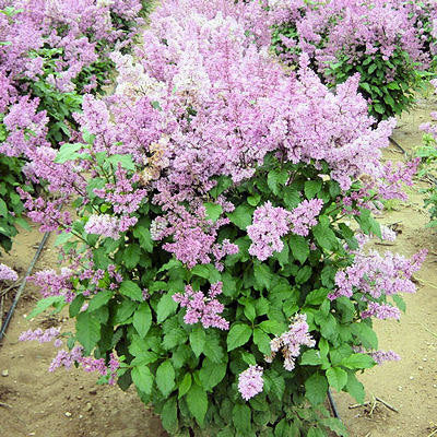 500 Late Lilac Tree Seeds, Syringa villosa