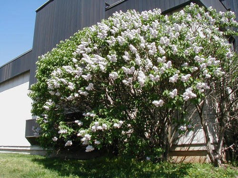 50 Common Lilac Tree Seeds, Syringa vulgaris