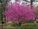 1000 Chinese Redbud Tree Seeds, Cercis Chinensis
