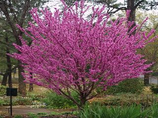 50 Chinese Redbud Tree Seeds, Cercis chinensis