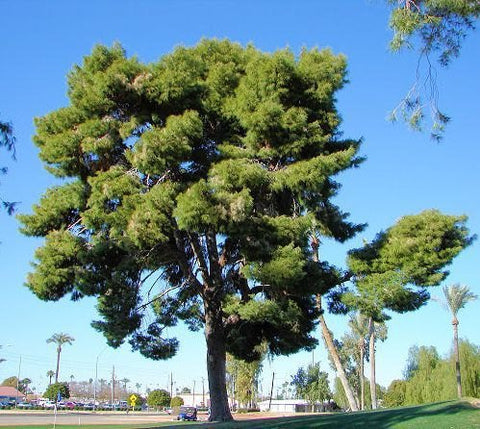 1000 Aleppo Pine Tree Seeds, Pinus Halapensis
