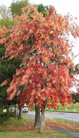 50 Sourwood Tree Seeds, Oxydendrum arboreum