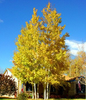 500 Quaking Aspen Tree Seeds, Populus tremuloides