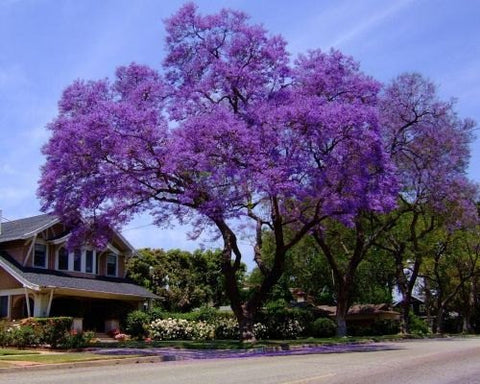 500 Royal Empress Tree Seeds, Paulownia tomentosa