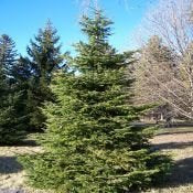 500 Silver Fir Tree Seeds, Abies alba