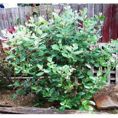 50 Pineapple Guava Tree Seeds, Feijoa Sellowiana