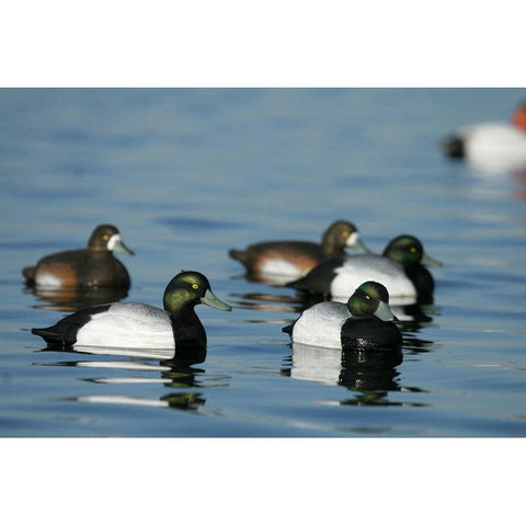 Avery/GHG Life -Size Series Blue Bills Duck Decoys 6 Pack