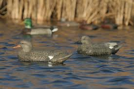 Avery/GHG Life -Size Series Gadwall Duck Decoys 3 Pack