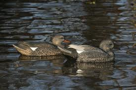 Avery/GHG Life -Size Series Gadwall Duck Decoys 6 Pack