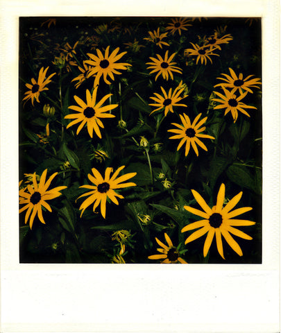 Black Eyed Susans | Polaroid Reproduction