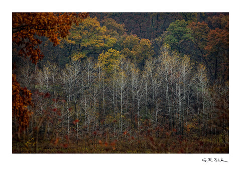 Autumn Birches | Digital Fine Art Print