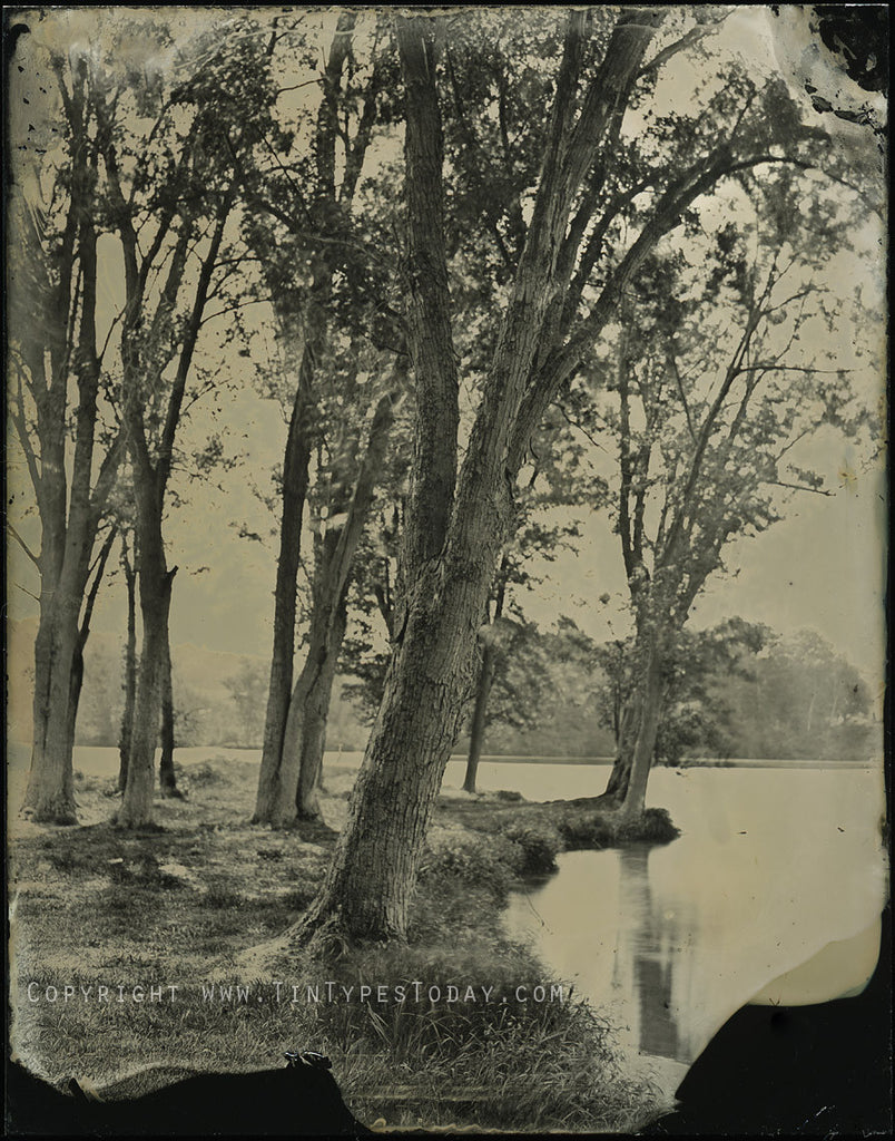 Tree Grove LaVale Wisconsin | Tintype Reproduction