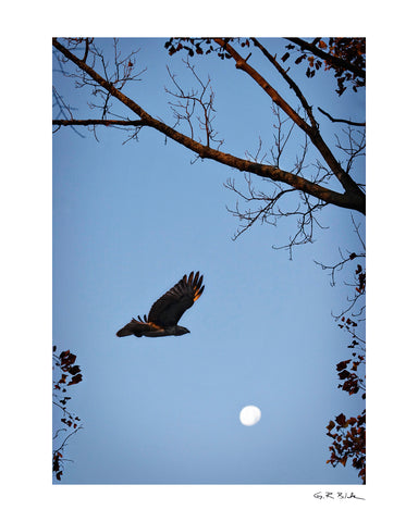Morning Hawk | Digital Fine Art Print