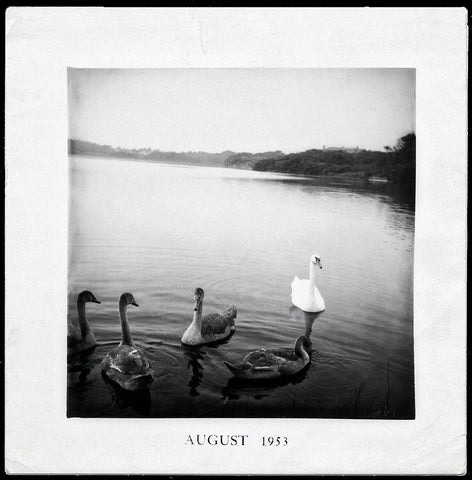 Swans A Swimming | Vintage Snapshot Reproduction