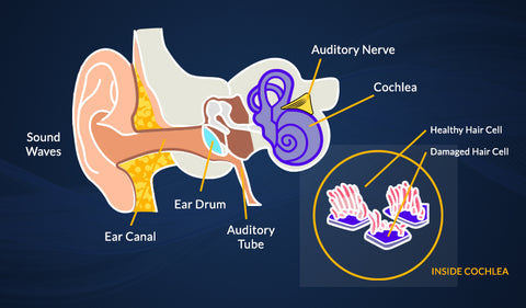 Infographic showing gross anatomy of internal and external ear