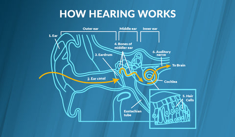 Diagram of the ear showing how hearing works