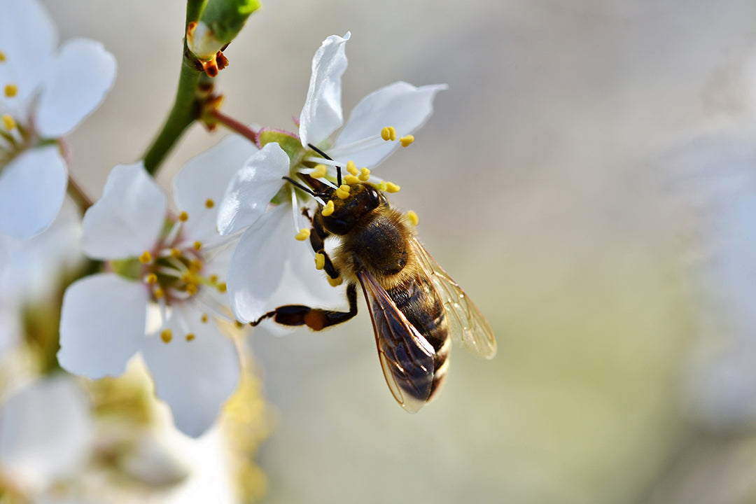 The Extraordinary Story of Manuka Honey